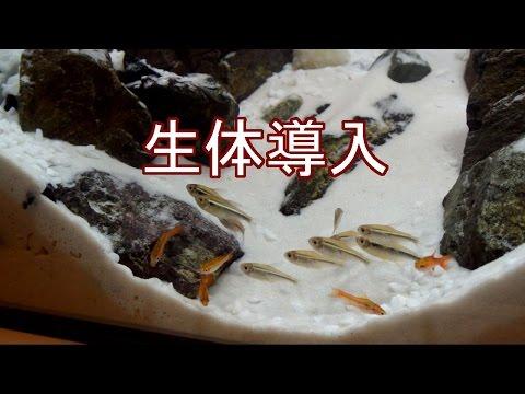 石組みレイアウト水槽「雪山」 生体導入 【アクアリウム】