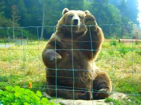 The Waving Bear - Amazing!