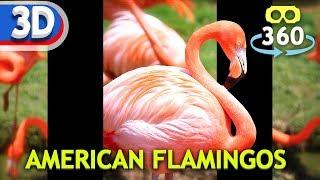 American Flamingos #VR180 #3D #8K #VirtualReality #HDR #360Video #VR #360