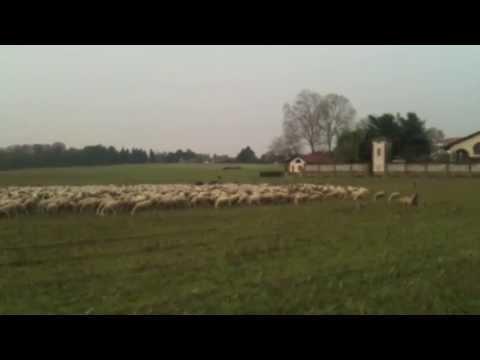 Pecore a Ispra