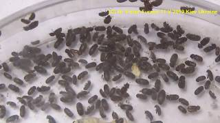 Who are Bisсuit Beetles in Your Kitchen? How to Get Rid of it? ?