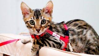 Лучшие породистые коты и кошки России. Выставка кошек #1: Претенденты