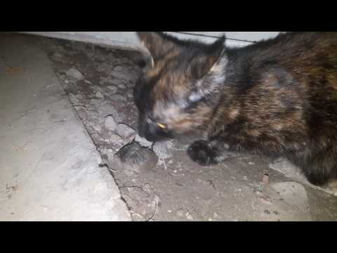 Кошка съела мышку