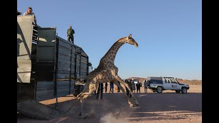 Giraffe Translocation - Namibia June 2020