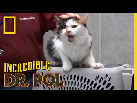 An Angry Cat Gets Vaccinated | The Incredible Dr. Pol