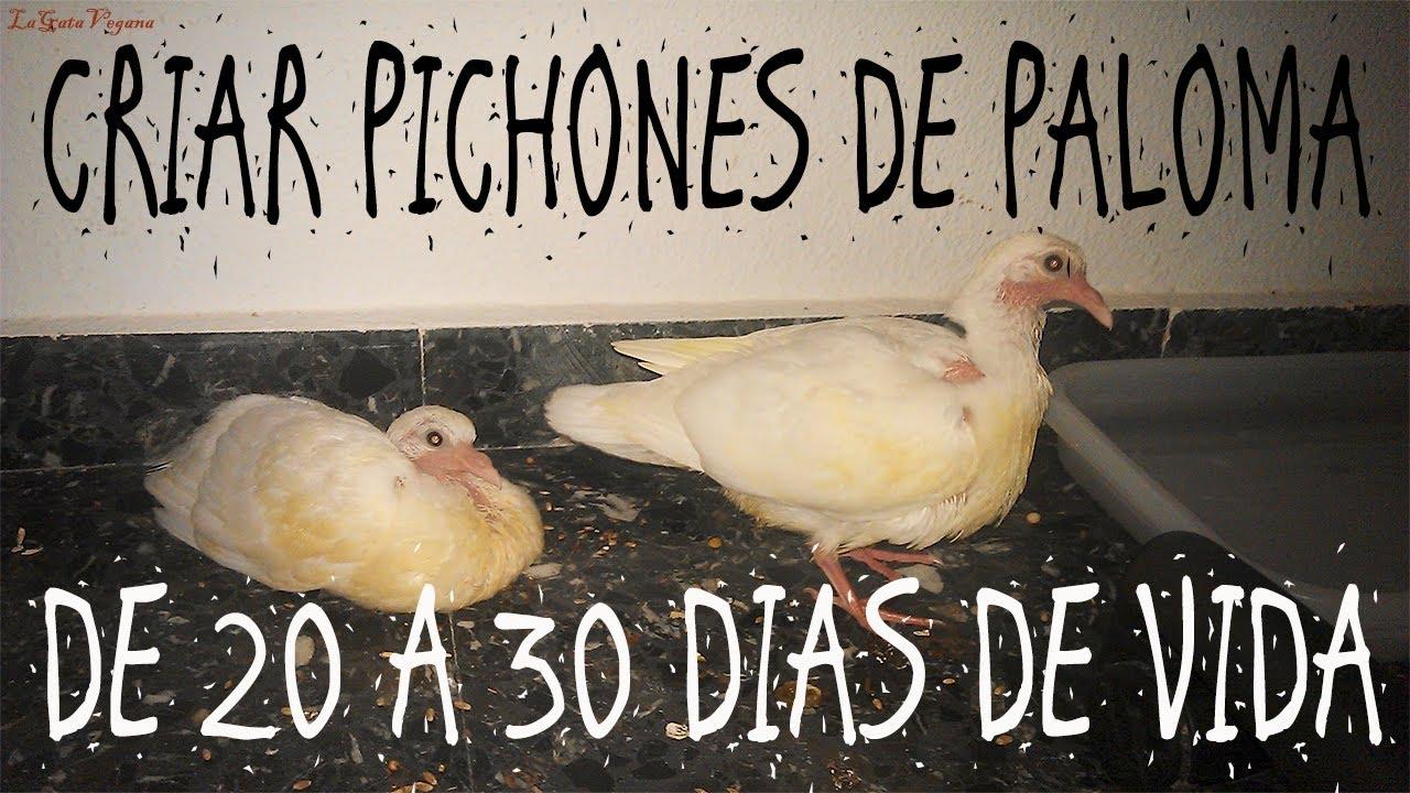 CRIAR PICHONES DE PALOMA DE 20-30 DIAS / CONSEJOS PARA CUIDAR POLLUELOS HUERFANOS