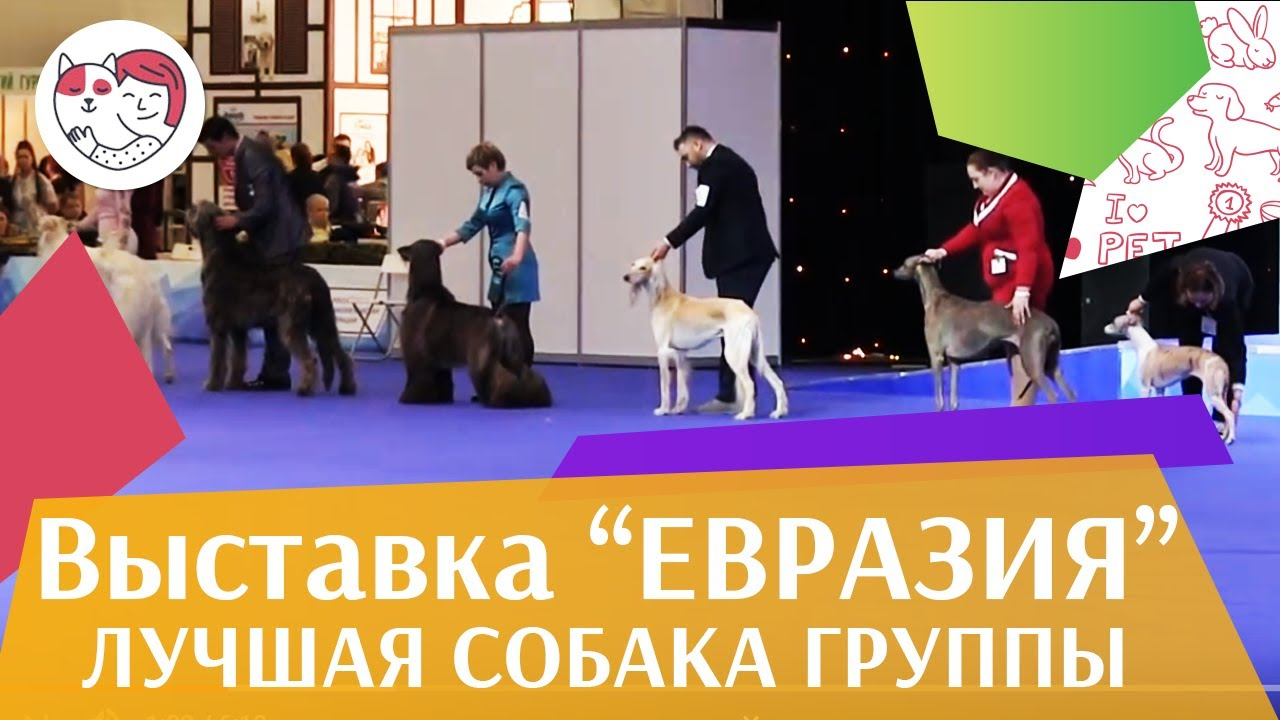 Лучшая собака 10 группы по классификации FCI 18 марта на Евразии 17 ilikepet