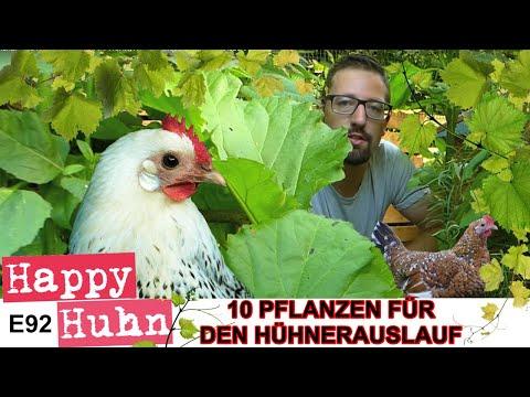 Happy Huhn Folge 92: Den Hühnerauslauf bepflanzen - 10 Pflanzentipps - Hühnergehege grün halten