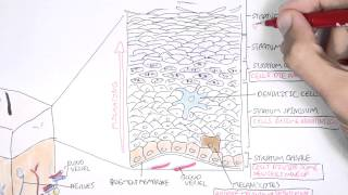 The Skin Anatomy, Physiology and Microbiology
