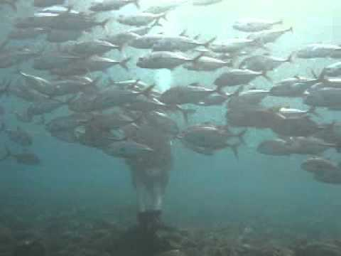 Bali, Tulamben, Wrack der Liberty, Fischschwarm, Jackfisch, Bali/Tulamben,Indonesien