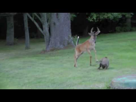 Dog Fights A Deer   (some Say They're Just Playing..)