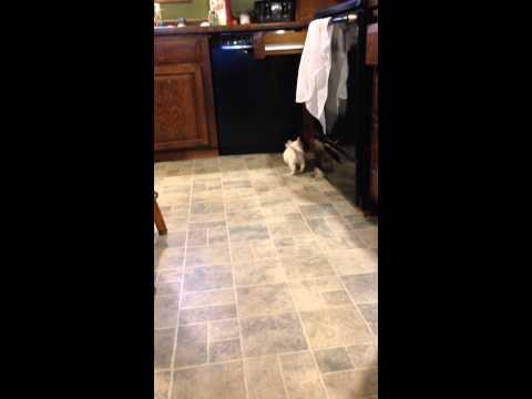 Frosty can Fetch!!  Westie male puppy
