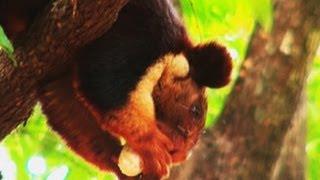 Malabar Giant Squirrel in Wayanad, Kerala