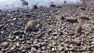 Monkeys and Natural Habitat at Pulaki Beach Region North Bali Indonesia