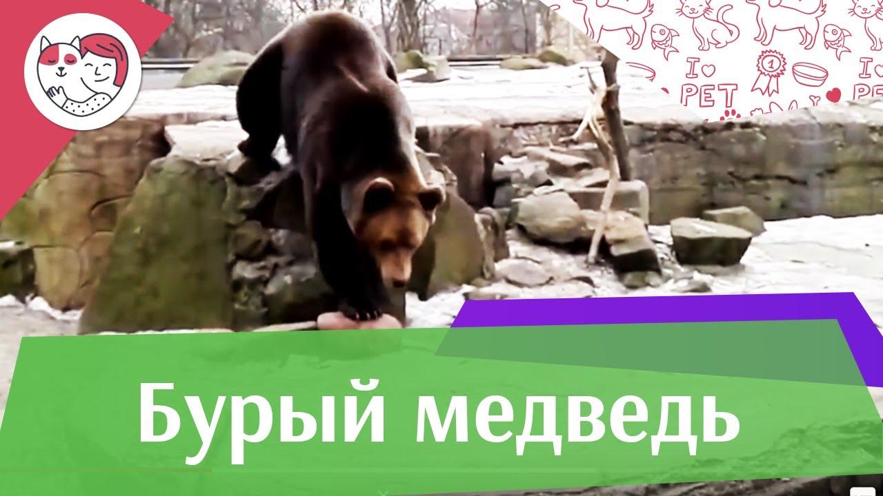 Бурый медведь В цифрах на ilikepet