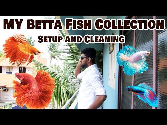 How to - My Betta Fish Collection - Cleaning and setup - Ornamental Fish Aquarium