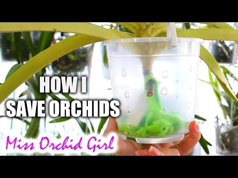 , title : 'My 'saving Orchids with almost no roots' routine - Part 1 | The theory