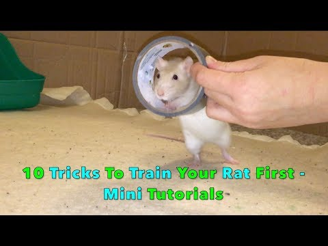 10 Tricks To Train Your Rat/Mouse First - Mini Tutorials Mp3