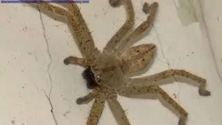 Giant House Spider (Big Spider In House) You Won