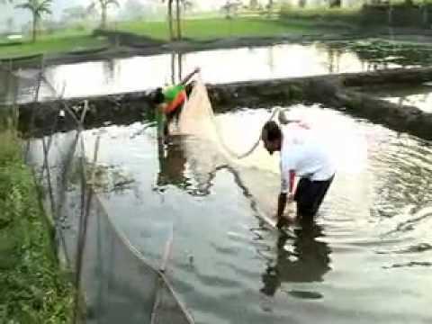 Video Cara Budidaya Gurami Kolam Beton   Panduan lengkap budi daya gurami