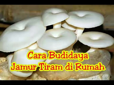 Video Cara Budidaya Jamur Tiram Di Rumah