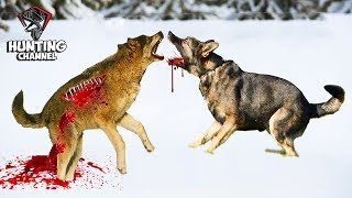 TOP 10 NEVEROVATNIH Napada vukova na Zivotinje!!!---TOP 10 AMAZING wolf attacks on animals!!!