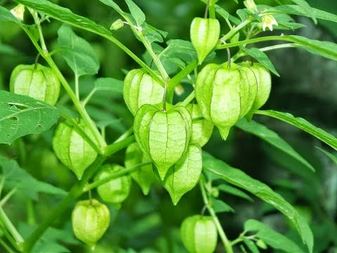 Video tanaman langka buah ciplukan (Physalis angulata)