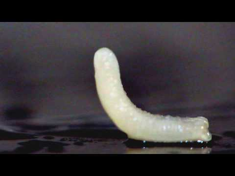Острица паразит или нет