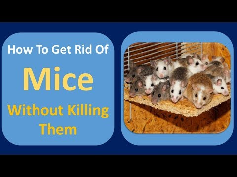 how to get rid of mice without killing them | Ammonia & Clove Oil  Home Remedy