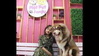 Alaska Giant - Alaska Khổng Lồ - Giá tiền và cách nuôi - Mật Pet Family
