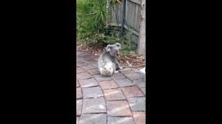 Cute Baby Koala Bear in my backyard in Noosa Heads Queensland Australia