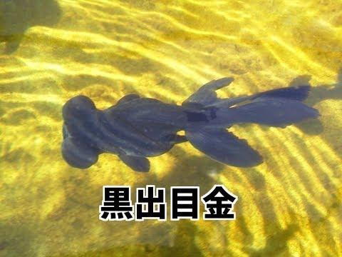 【4K】黒出目金(金魚)
