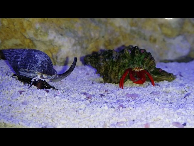EP 10 - CRAB VS. SNAIL: Reef Tank Battle