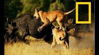 Wildlife Africa – Predators Survival Strategies – (Nat Geo Wild)