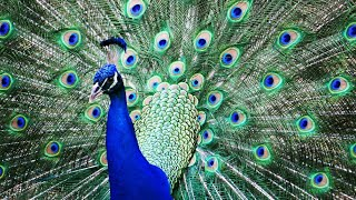 Real national bird peacock dance and playing,flying Peacocks Opening Feathers HD video