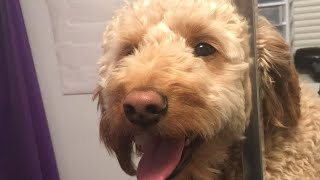 Grooming a Mini Golden Doodle