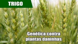 Tecnologia inovadora combate plantas daninhas no trigo