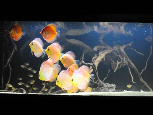 Discus Fish, Planted Aquarium Chennai, aquaria.in