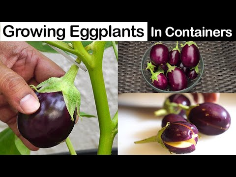 , title : 'Growing Eggplants - Container Little Prince Eggplant