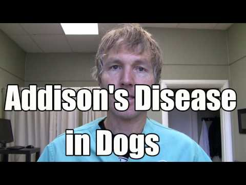 Video Addison' Disease in Dogs: Conventional and Holistic Treatment