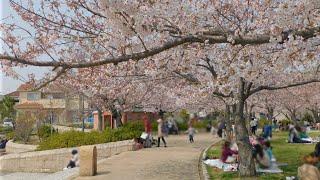 中尾親水公園 桜