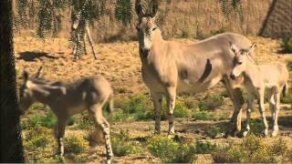 Somali Wild Ass Foals Born