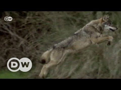 Spain's wolfman and the dark side of civilization | DW English