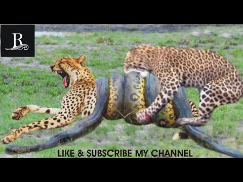 python attacks on leopard baby while mother leopard hunting impala