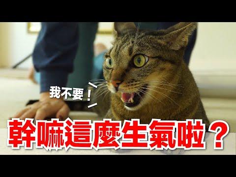 好味小姐,黏著貓咪一整天,貓咪會有什麼反應呢?