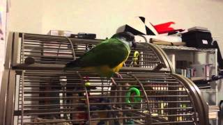 A Visit with Qubit, Kristine's Senegal Parrot