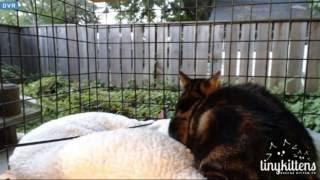 Tiny Kittens Maralix gets raccoon visitors who do meerkatlike things hmmm