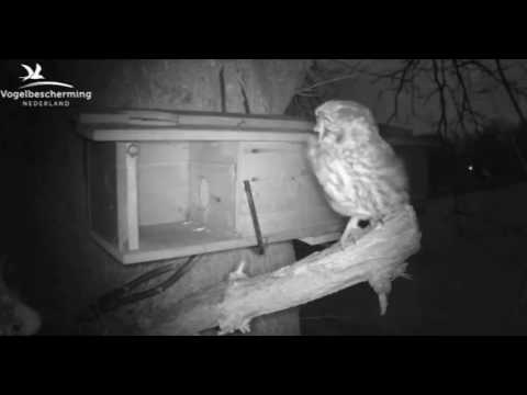 Little Owls Family 2: Mating in the Wind - 19.03.17