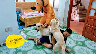Củ Cải Kim Chi bảo vệ chủ khi bị chó khổng lồ tấn công | Reaction of my Dogs when I were attacked