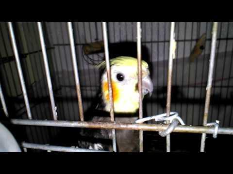 Bu Sultan Papağanı Bir Başka Konuşuyor